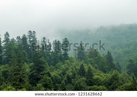 Healthy green trees in a forest of old spruce, fir and pine. Spruce trees down the hill to coniferous forest in fog at sunrise #1231628662