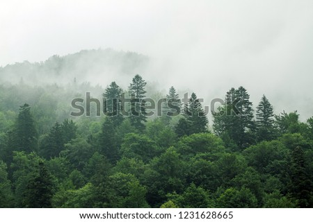 Healthy green trees in a forest of old spruce, fir and pine. Spruce trees down the hill to coniferous forest in fog at sunrise #1231628665