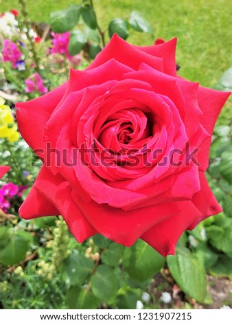 beautiful single rose #1231907215