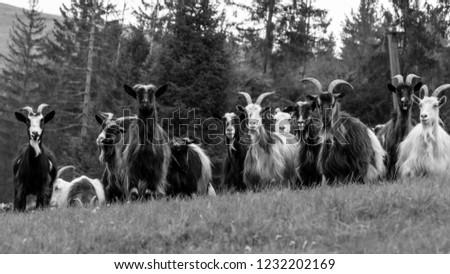portrait of domestic goat #1232202169