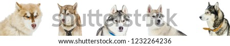 Siberian Husky dogs faces isolated. Panorama white background. Some Husky faces for use in design. Close up view. #1232264236