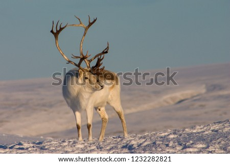 Buck Peary Caribou standing in snow. Royalty-Free Stock Photo #1232282821