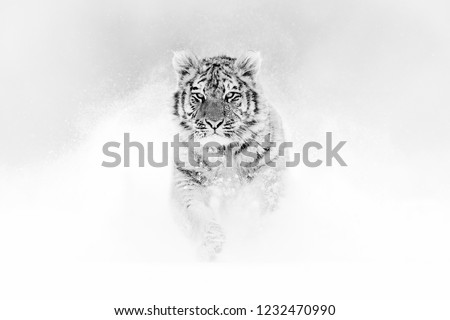 Black and white art. Tiger in wild winter nature, running in the snow. Siberian tiger, Panthera tigris altaica. Action wildlife scene with dangerous animal. Cold winter in taiga, Russia.  #1232470990