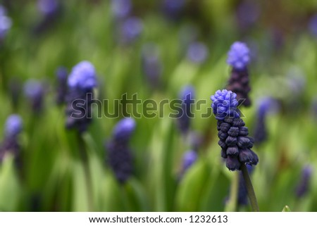 Low angle shot of the grape hyacinth of purple and blue showing shallow depth of field #1232613