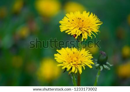 many little bugs and hidden ladybird on a flowering dandelion  #1233173002