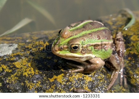 frog #1233331