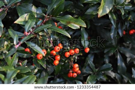 Pyracantha Angustifolia ( Narrowleaf Firethorn, Slender Firethorn or Woolly Firethorn) with berries fruit. Family Rosaceae.  #1233354487
