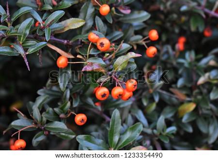 Pyracantha Angustifolia ( Narrowleaf Firethorn, Slender Firethorn or Woolly Firethorn) with berries fruit. Family Rosaceae.  #1233354490