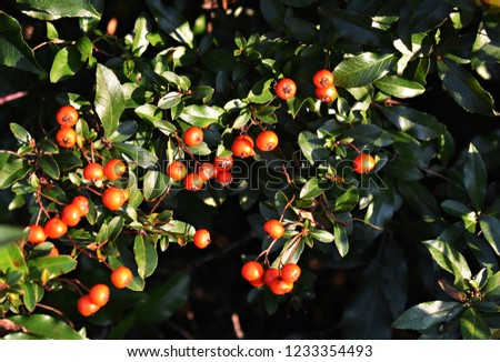 Pyracantha Angustifolia ( Narrowleaf Firethorn, Slender Firethorn or Woolly Firethorn) with berries fruit. Family Rosaceae.  #1233354493