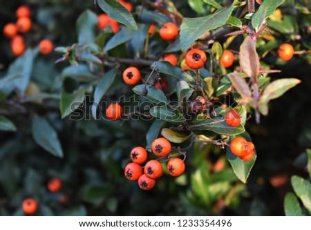 Pyracantha Angustifolia ( Narrowleaf Firethorn, Slender Firethorn or Woolly Firethorn) with berries fruit. Family Rosaceae.  #1233354496