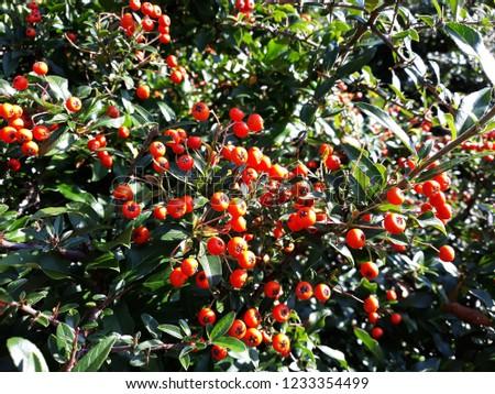 Pyracantha Angustifolia ( Narrowleaf Firethorn, Slender Firethorn or Woolly Firethorn) with berries fruit. Family Rosaceae.  #1233354499