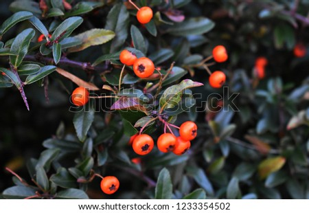 Pyracantha Angustifolia, (Narrowleaf Firethorn, Slender Firethorn or Woolly Firethorn), is a species of shrub in the family Rosaceae. Branches with fruits.   #1233354502