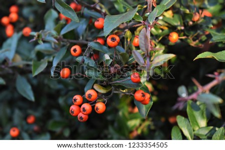 Pyracantha Angustifolia, (Narrowleaf Firethorn, Slender Firethorn or Woolly Firethorn), is a species of shrub in the family Rosaceae. Branches with fruits.  #1233354505