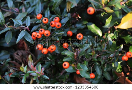 Pyracantha Angustifolia, (Narrowleaf Firethorn, Slender Firethorn or Woolly Firethorn), is a species of shrub in the family Rosaceae. Branches with fruits.   #1233354508