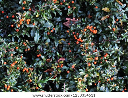 Pyracantha Angustifolia, (Narrowleaf Firethorn, Slender Firethorn or Woolly Firethorn), is a species of shrub in the family Rosaceae. Branches with fruits.  #1233354511