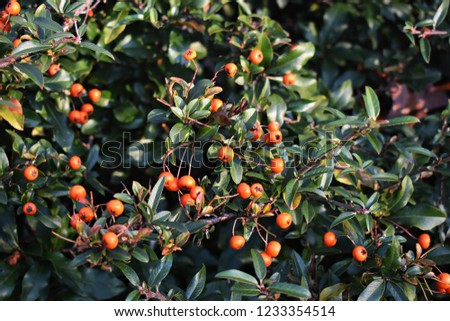Pyracantha Angustifolia, (Narrowleaf Firethorn, Slender Firethorn or Woolly Firethorn), is a species of shrub in the family Rosaceae. Branches with fruits.   #1233354514