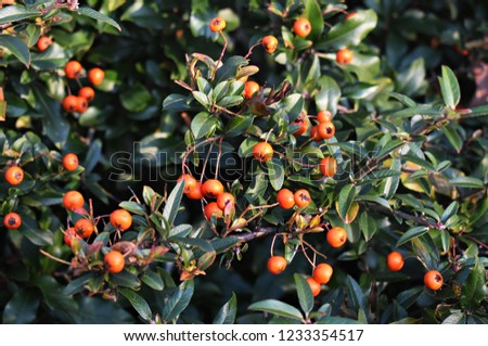 Pyracantha Angustifolia, (Narrowleaf Firethorn, Slender Firethorn or Woolly Firethorn), is a species of shrub in the family Rosaceae. Branches with fruits.  #1233354517