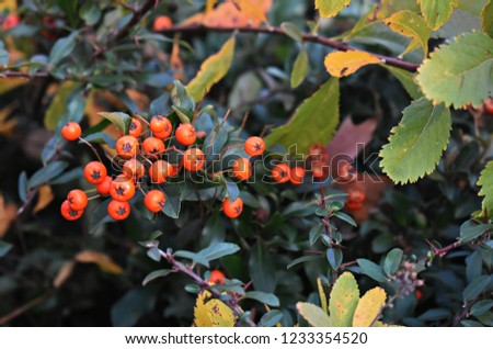 Pyracantha Angustifolia, (Narrowleaf Firethorn, Slender Firethorn or Woolly Firethorn), is a species of shrub in the family Rosaceae. Branches with fruits.  #1233354520
