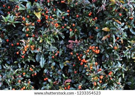 Pyracantha Angustifolia, (Narrowleaf Firethorn, Slender Firethorn or Woolly Firethorn), is a species of shrub in the family Rosaceae. Branches with fruits.  #1233354523