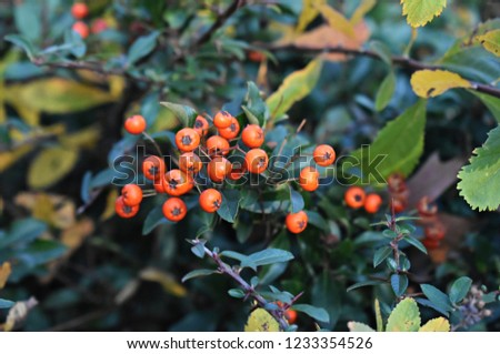 Pyracantha Angustifolia, (Narrowleaf Firethorn, Slender Firethorn or Woolly Firethorn), is a species of shrub in the family Rosaceae. Branches with fruits.  #1233354526