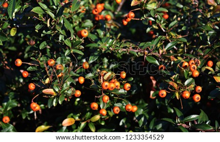 Pyracantha Angustifolia, (Narrowleaf Firethorn, Slender Firethorn or Woolly Firethorn), is a species of shrub in the family Rosaceae. Branches with fruits.   #1233354529
