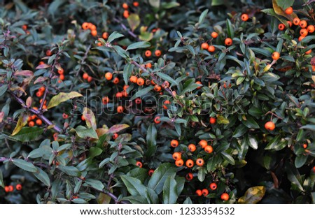 Pyracantha Angustifolia, (Narrowleaf Firethorn, Slender Firethorn or Woolly Firethorn), is a species of shrub in the family Rosaceae. Branches with fruits.   #1233354532