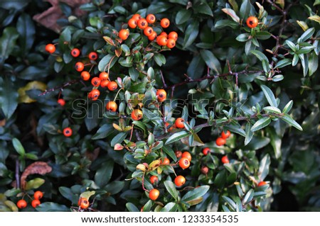 Pyracantha Angustifolia, (Narrowleaf Firethorn, Slender Firethorn or Woolly Firethorn), is a species of shrub in the family Rosaceae. Branches with fruits.  #1233354535