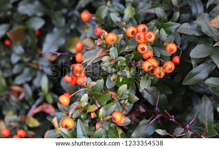 Pyracantha Angustifolia, (Narrowleaf Firethorn, Slender Firethorn or Woolly Firethorn), is a species of shrub in the family Rosaceae. Branches with fruits.  #1233354538