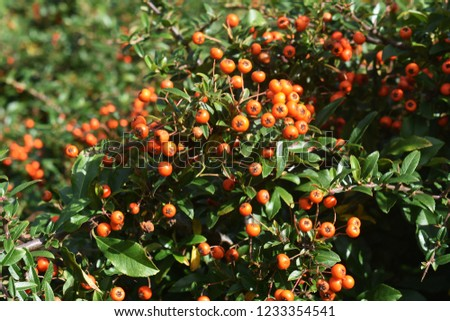 Pyracantha Angustifolia, (Narrowleaf Firethorn, Slender Firethorn or Woolly Firethorn), is a species of shrub in the family Rosaceae. Branches with fruits.  #1233354541