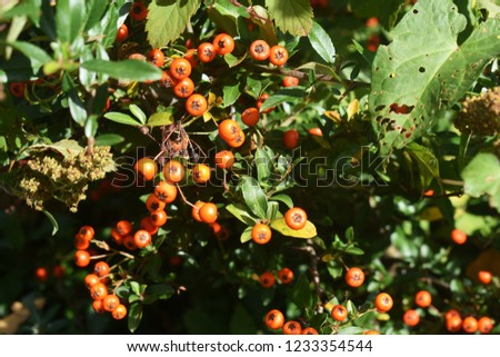 Pyracantha Angustifolia, (Narrowleaf Firethorn, Slender Firethorn or Woolly Firethorn), is a species of shrub in the family Rosaceae. Branches with fruits.   #1233354544