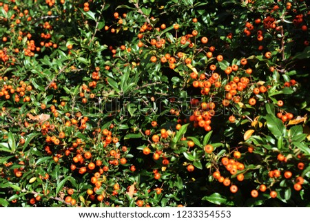 Pyracantha Angustifolia, (Narrowleaf Firethorn, Slender Firethorn or Woolly Firethorn), is a species of shrub in the family Rosaceae. Branches with fruits.  #1233354553