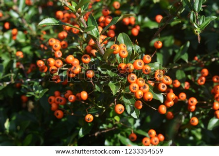 Pyracantha Angustifolia, (Narrowleaf Firethorn, Slender Firethorn or Woolly Firethorn), is a species of shrub in the family Rosaceae. Branches with fruits.  #1233354559