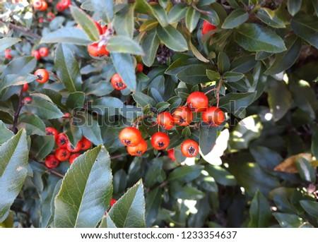 Pyracantha Angustifolia ( Narrowleaf Firethorn, Slender Firethorn or Woolly Firethorn) with berries fruit. Family Rosaceae.  #1233354637