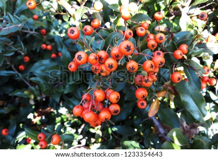Pyracantha Angustifolia ( Narrowleaf Firethorn, Slender Firethorn or Woolly Firethorn) with berries fruit. Family Rosaceae.  #1233354643