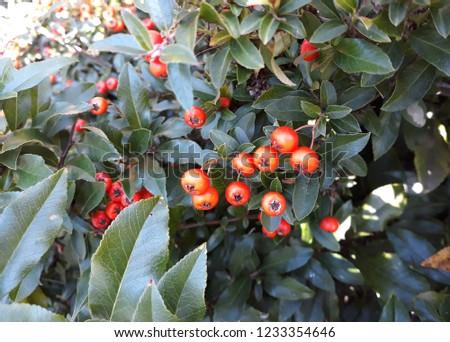 Pyracantha Angustifolia ( Narrowleaf Firethorn, Slender Firethorn or Woolly Firethorn) with berries fruit. Family Rosaceae.  #1233354646
