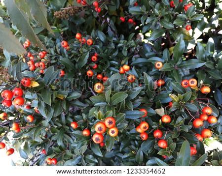 Pyracantha Angustifolia ( Narrowleaf Firethorn, Slender Firethorn or Woolly Firethorn) with berries fruit. Family Rosaceae.  #1233354652