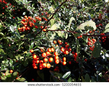 Pyracantha Angustifolia ( Narrowleaf Firethorn, Slender Firethorn or Woolly Firethorn) with berries fruit. Family Rosaceae.  #1233354655