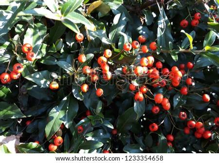 Pyracantha Angustifolia ( Narrowleaf Firethorn, Slender Firethorn or Woolly Firethorn) with berries fruit. Family Rosaceae.  #1233354658