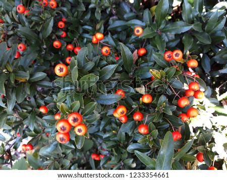 Pyracantha Angustifolia ( Narrowleaf Firethorn, Slender Firethorn or Woolly Firethorn) with berries fruit. Family Rosaceae.  #1233354661