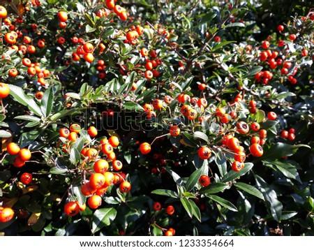 Pyracantha Angustifolia ( Narrowleaf Firethorn, Slender Firethorn or Woolly Firethorn) with berries fruit. Family Rosaceae.  #1233354664