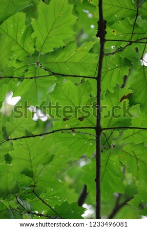 Summer in the forest-nice closeup of green leaves on sunny day-green texture of green trees as background #1233496081