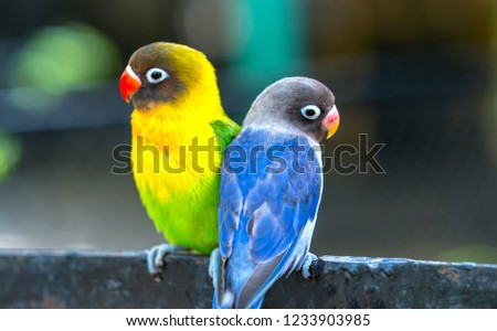 Lovebird parrots sitting together. This birds lives in the forest and is domesticated to domestic animals #1233903985
