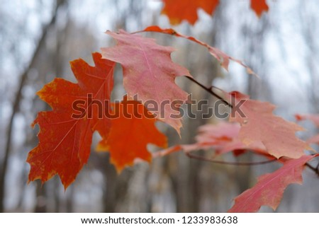 Red oak leaves in late autumn. Close up. #1233983638