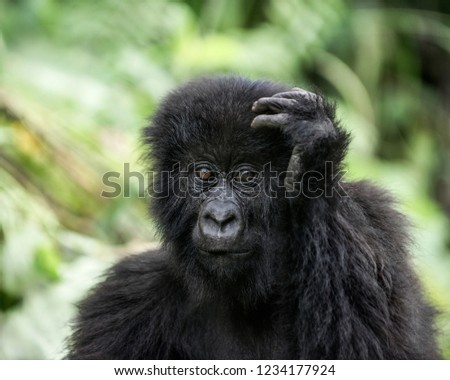 Young mountain gorilla in the Virunga National Park, Africa, DRC, Central Africa. #1234177924