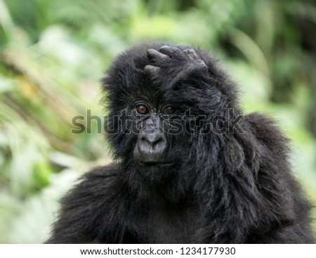 Young mountain gorilla in the Virunga National Park, Africa, DRC, Central Africa. #1234177930