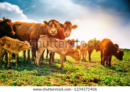Cute little calfs grazing with cows. Agricultural background   #1234371406
