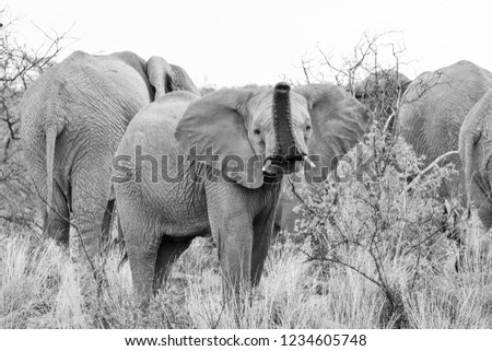 A juvenile African Elephant in Southern African savanna #1234605748
