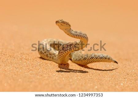 Bitis peringueyi, Péringuey's Adder, poison snake from Namibia sand desert. Small viper in the nature habitat, Namib-Naukluft Park in Africa. Wildlife scene from nature, reptile behaviour, sunny day. #1234997353
