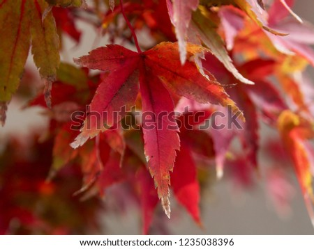 Japanese maple that turned red in winter #1235038396