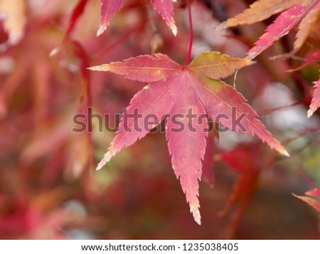 Japanese maple that turned red in winter #1235038405